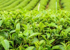 Les bienfaits du thé pour la peau et la santé
